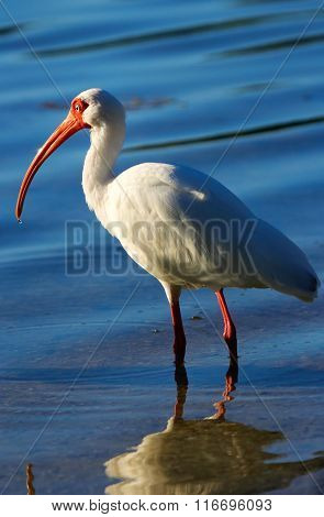 White Ibis In A Water