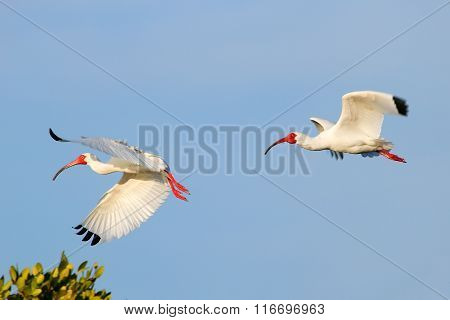 White Ibises (Eudocimus albus) flying in blue sky