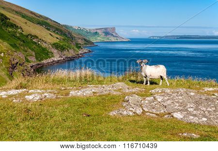 Sheep And Cliffs. Essence Of Northern Ireland