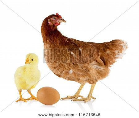 Brown hen and chicken