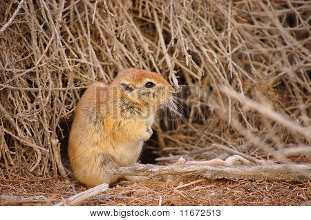 Desert beaver.