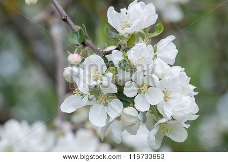 White spring flowers of apple fruit tree branch close-up