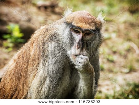 Patas Monkey Portrait, Animal Scene