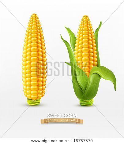 Vector two corn. corn on the cob with leaves. design element