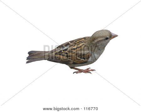 An Isolated Sparrow