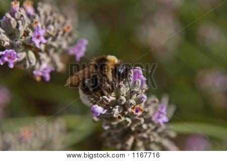 Beeslavender2