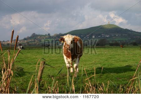 Bull And Glastonbury Tor