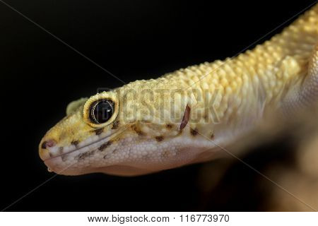Head Of A Leopard Gecko On Black Background