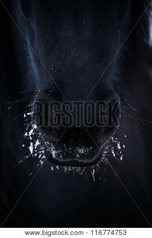 Nostrils Of Friesian Horse In To Snow Close Up