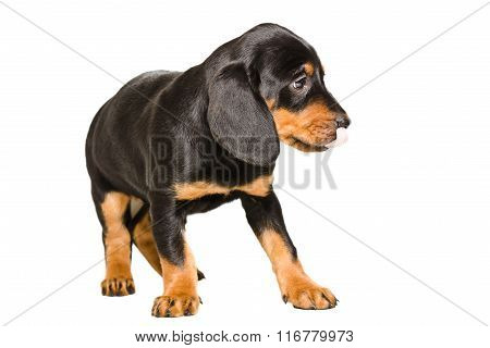 Cute puppy breed Slovakian Hound licking his nose