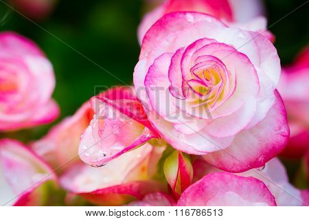 Close Up Fresh Pink Begonia Flower In The Park With Dew Drops