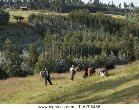 OROMIA, ETHIOPIA-NOVEMBER 5, 2014: Unidentified farmers herd cattle in the highlands of Ethiopia