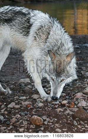 Grey Wolf (canis Lupus) Sniff Turn