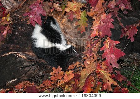 Striped Skunk (mephitis Mephitis) Looks Right Out Of Log