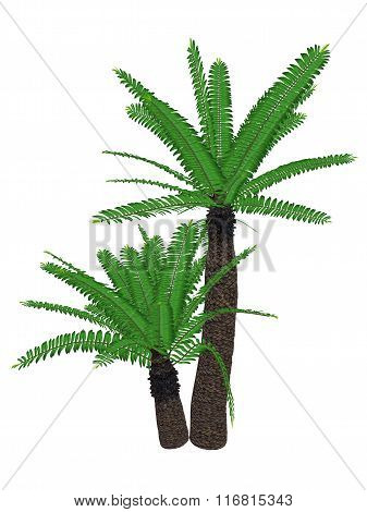 Breadtree, broodboom, eastern cape giant, bushman's river cycad or uJobane, encephalartos altenstein