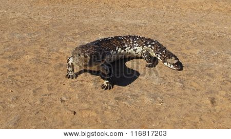 blue tongued lizard, australia
