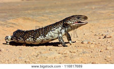 blue tongued lizard, australia