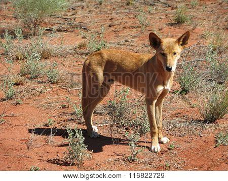 dingo, australia