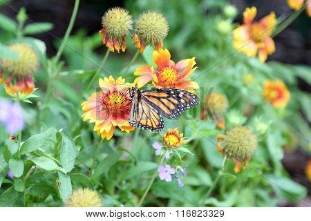 monarch butterfly on indian blanket flower