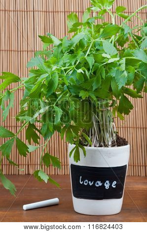 Potted Lovage Herb With Label