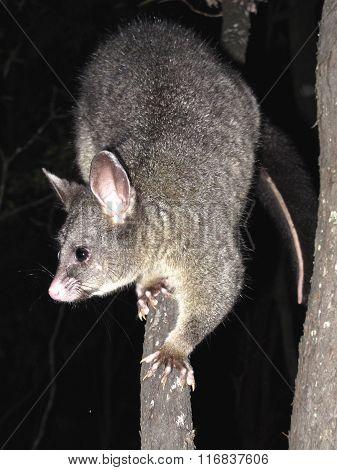 Brush tail possum