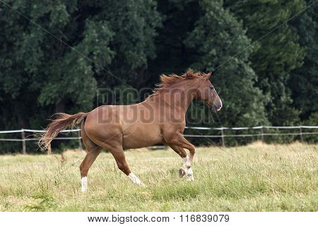 Horse gallop beautiful free on paddock