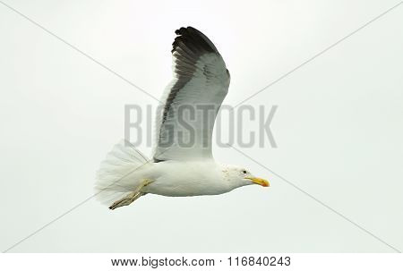 Flying  Kelp gull (Larus dominicanus) also known as the Dominican gull and Black Backed Kelp Gull.