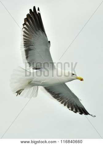 Kelp gull (Larus dominicanus) also known as the Dominican gull and Black Backed Kelp Gull.