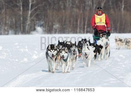 Kamchatka Extreme Sled Dog Racing Beringia. Russian Far East