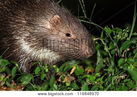 Malayan porcupine(Hystrix brachyura) in nature at night poster