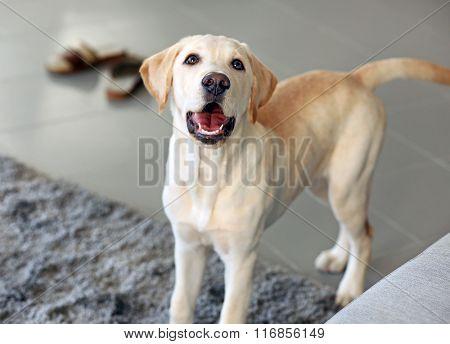 Cute Labrador dog at home, closeup