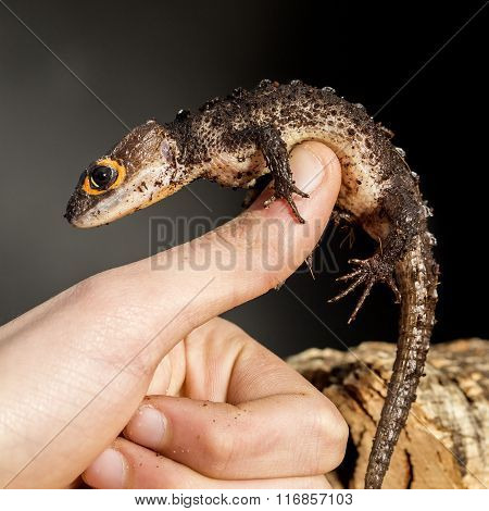 Red Eyed Crocodile Skink On The Hand
