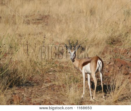 Springbok – Antidorcas Marsupilis