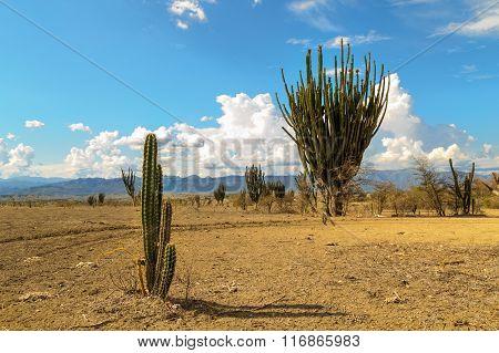 big cactuses in red desert, tatacoa desert, columbia, latin america, clouds and sand