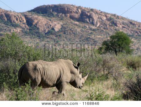 White Rhino In The Desert