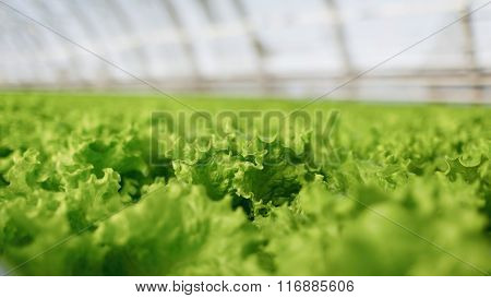 Hydroponic Vegetables Growing In Greenhouse. Fresh Organic Vegetable In Hydroponic Vegetable Field.