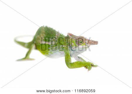 Fischer's chameleon, Kinyongia fischeri on white