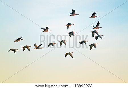 Pilgrim geese in flight