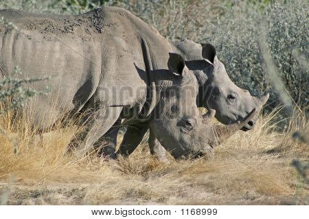 White Rhino With Young