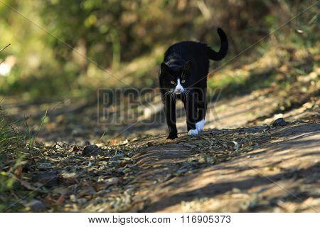 Black Cat In Fighting Stance