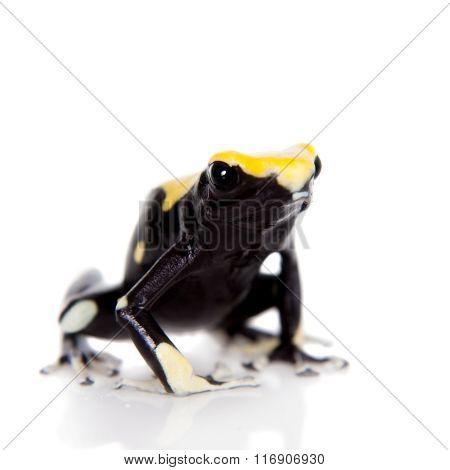 Yellow back dyeing poison dart frog, Dendrobates tinctorius, on white