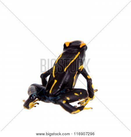 Alanis dyeing poison dart frog, Dendrobates tinctorius, on white