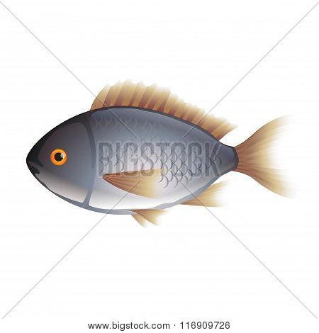 Dorada Fish Isolated On White Vector