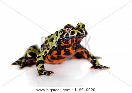 Oriental Fire-bellied Toad, Bombina orientalis, on white