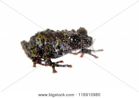 Theloderma bicolor, rare spieces of frog on white