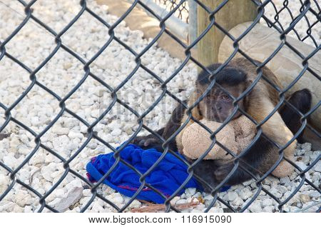 Sad and upset small monkey sitting in a cage, hugging teddy in Everglades National Park.