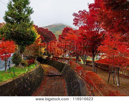 Maple Corridor At Autumn In Kawaguchiko