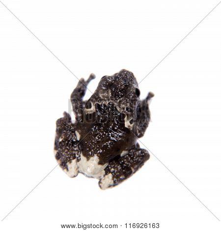 Star mossy frogling, Theloderma stellatum, on white
