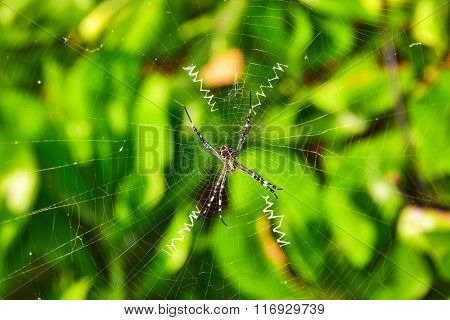 Spider Sits In His Web In The Maldives Island.