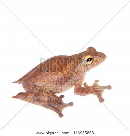 Rhacophorus robertingeri, rare species of flying tree frog, isolated on white background poster
